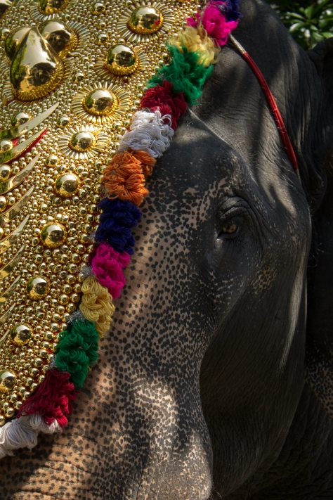 Elephant animal abuse India temple Kerala