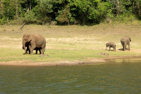 Periyar Tiger Reserve wild elephants elephant travel tourism india kerala