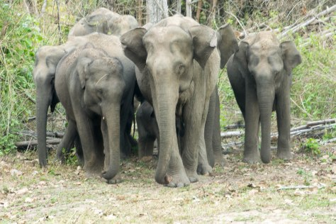 Elephants wild Wayanad Kerala India