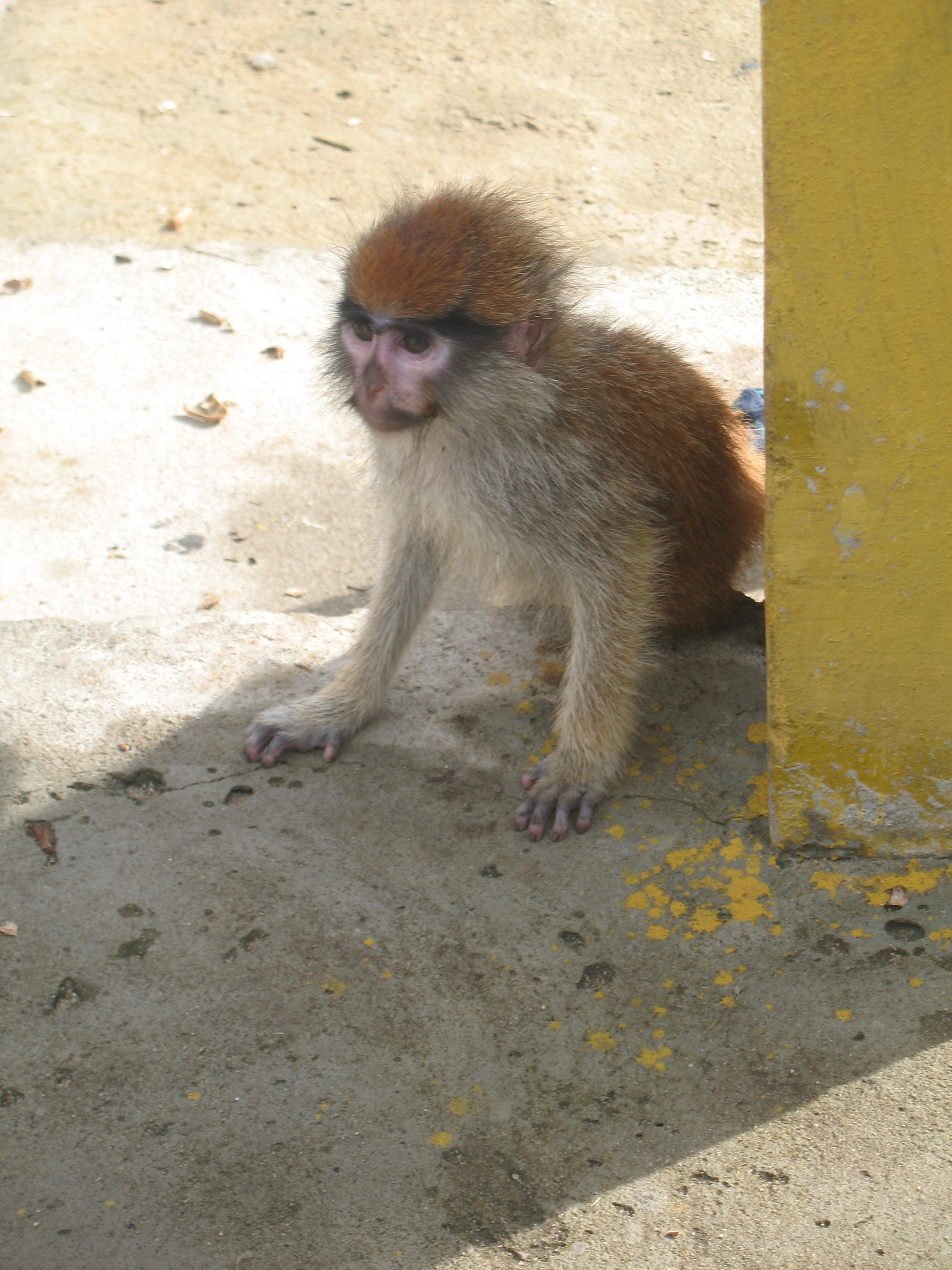 The only monkey I saw in three weeks in Benin.